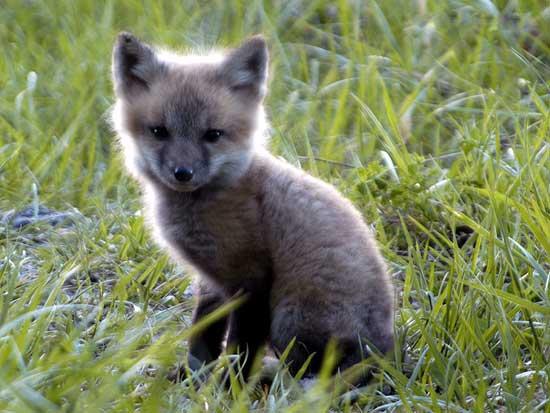 Fuechse Info Faq Fuchse Als Haustiere