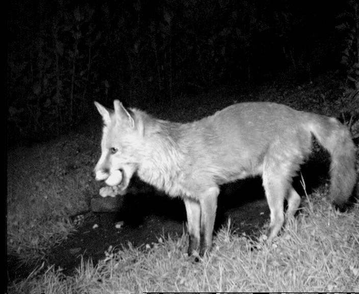 Fuechseinfo Faq Wildlebende Füchse Als Nachbarn